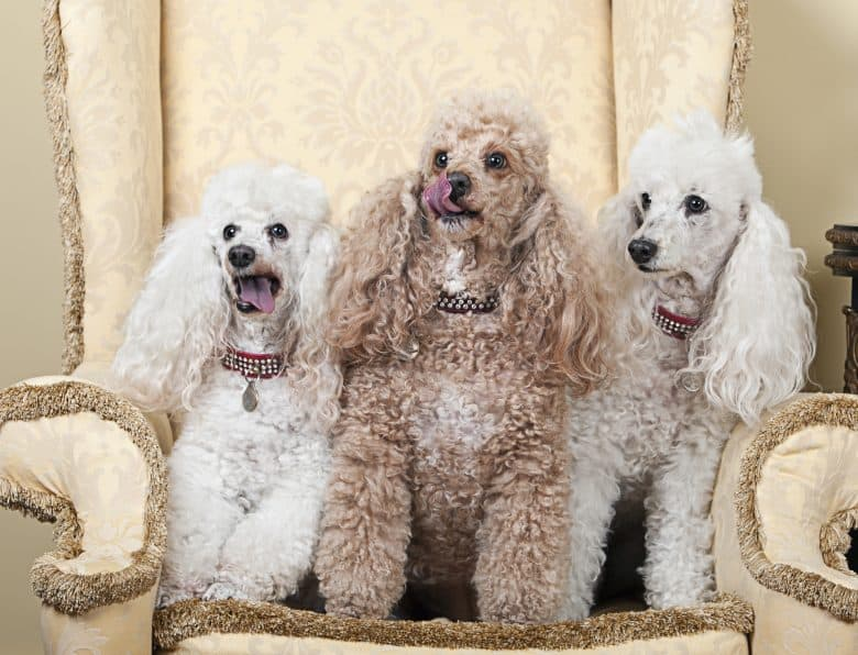 A portrait of three Miniature French Poodles sitting on a chair