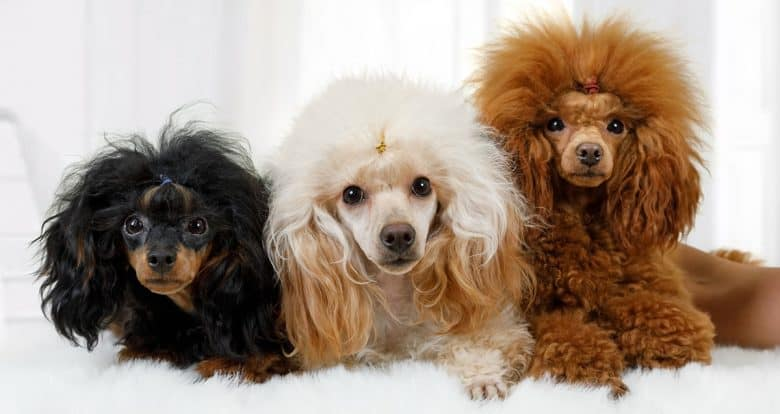 Three Poodle dogs in different colors