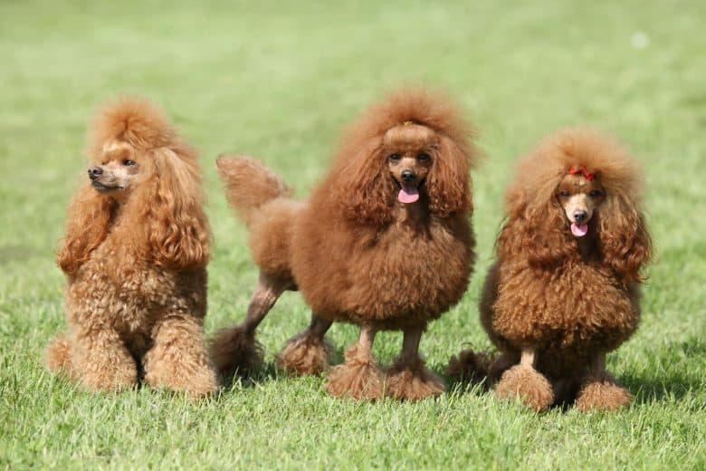 Three Red Poodles on grass having a photo shoot