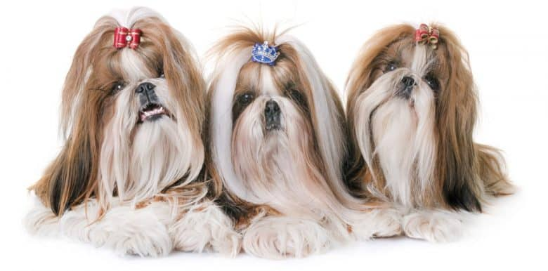 A portrait of Three Shih Tzu dogs with hair tied up