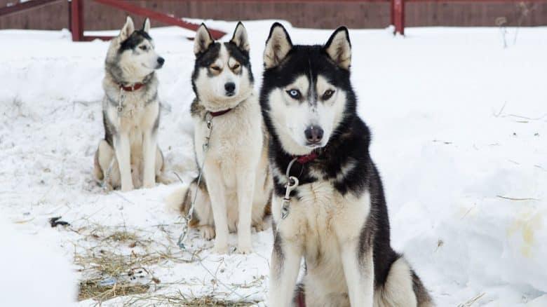 Three Siberian Huskies sitting in the snow