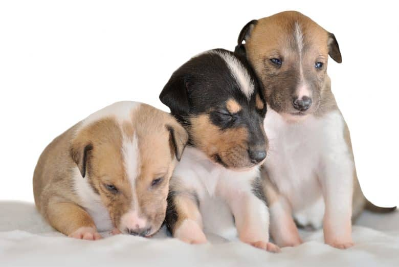 Three adorable Smooth Collie puppies