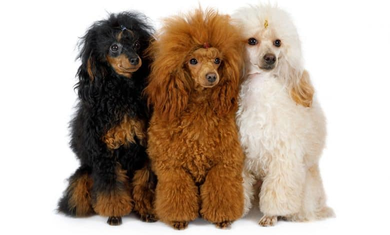 Three toy Poodle dogs in different colors