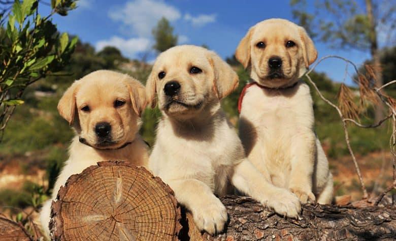 Three Yellow Labrador Retriever puppies