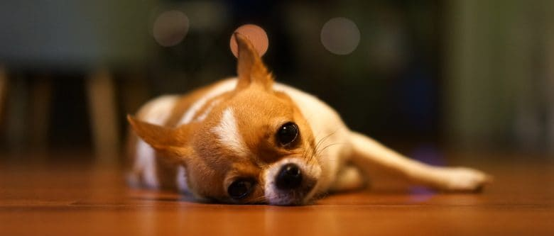 Tired Chihuahua resting on the floor