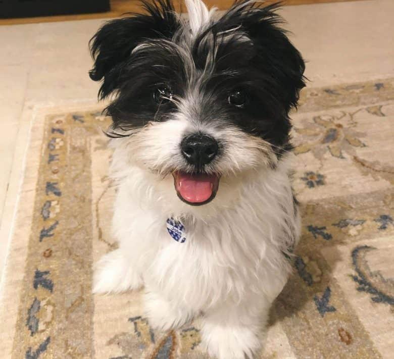 Toy Fox Terrier and Shih Tzu mix dog portrait