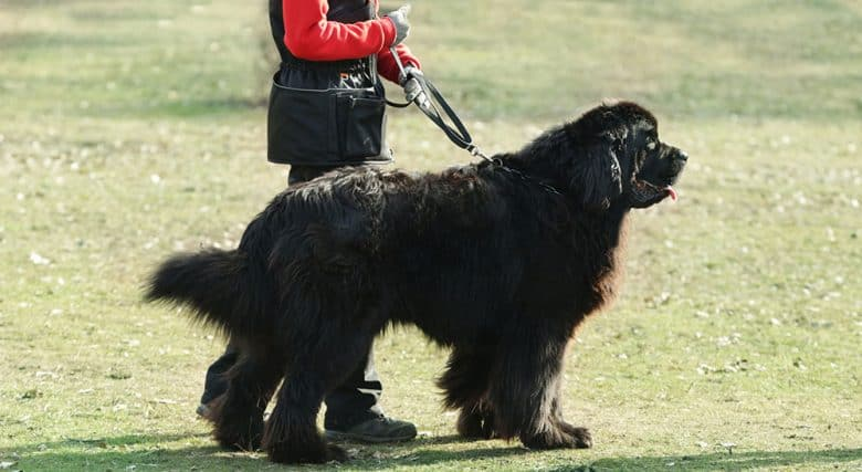 Trainer handling Newfoundland dog
