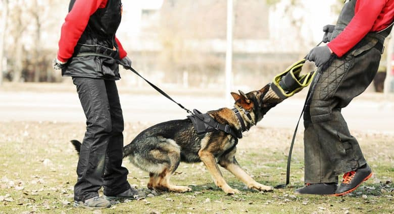 Training of working dog outdoor