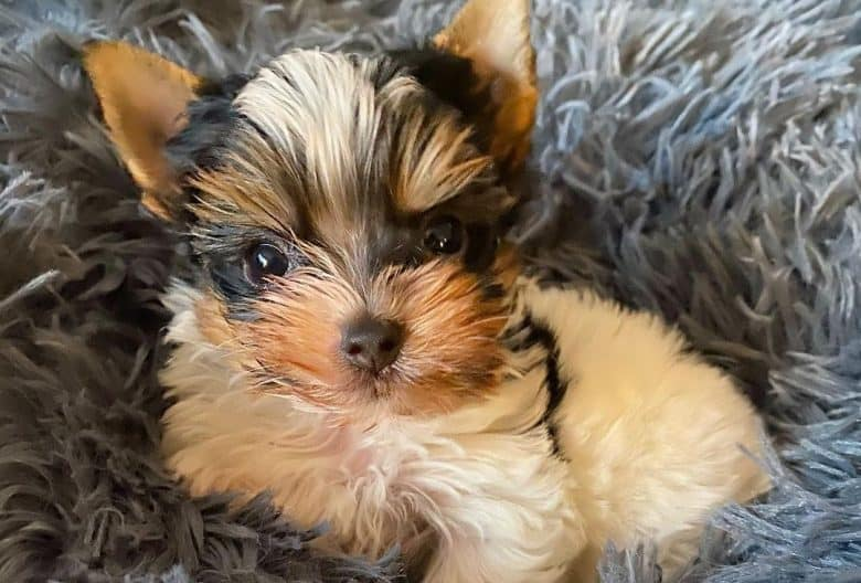 A Parti Yorkie puppy comfortably laying on a fluffy cushion