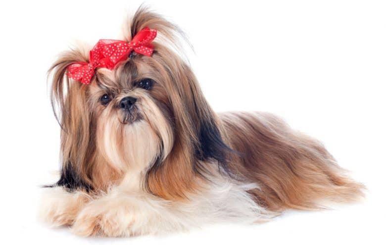 Tri-colored Shih Tzu dog portrait