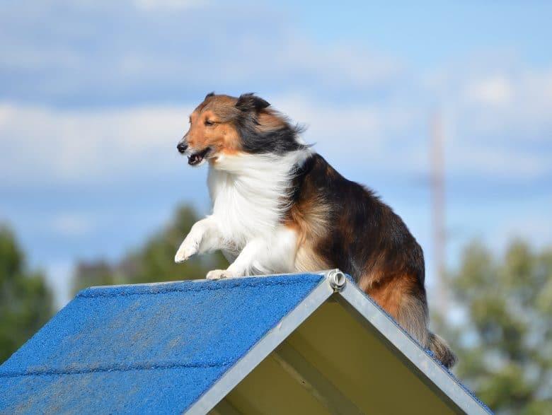 A tricolor Shetland Sheepdog doing agility training