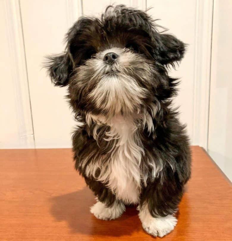 Tuxedo Shih Tzu dog portrait