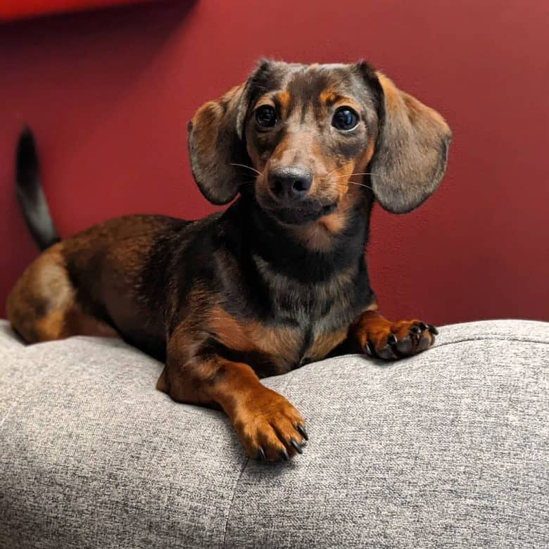 """A """"tweenie"""" Miniature Dachshund on top of the couch"""