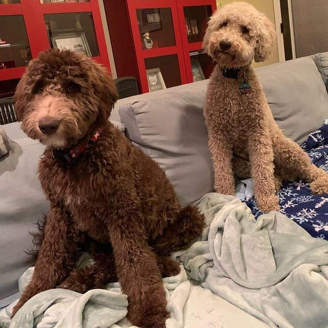 Two adorable Whoodles sitting on the sofa