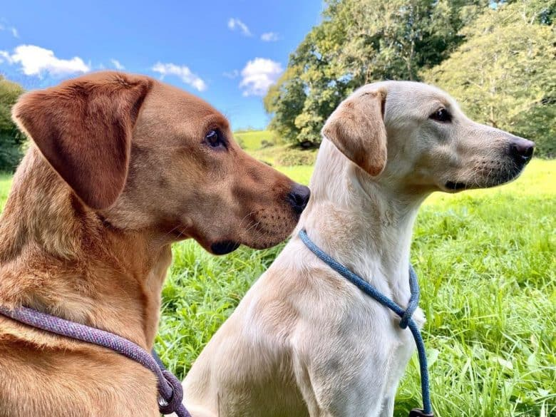 Two American Labrador dogs looking afar