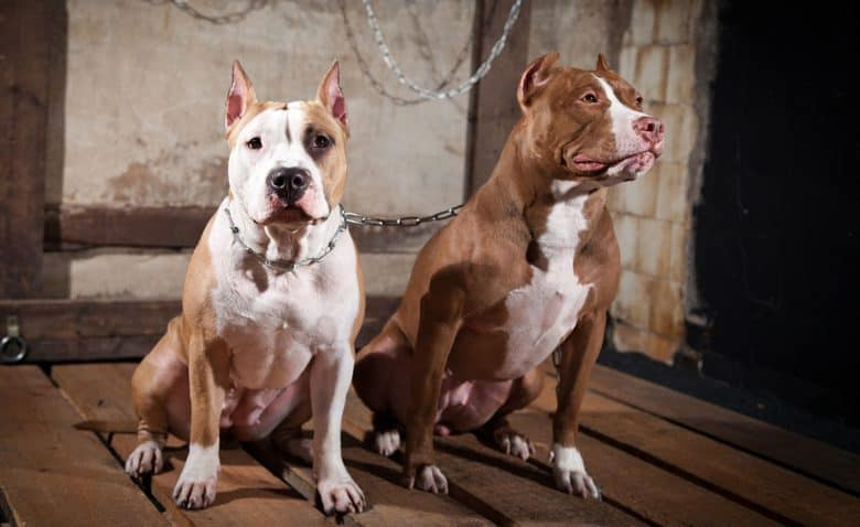 Two American Pit Bull Terriers