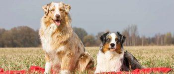 Two Australian Shepherds in the field