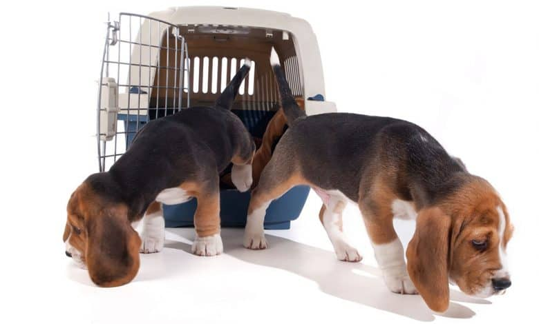Two Beagle puppies out of the cage
