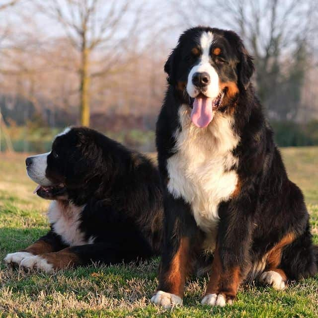 Two Bernese Mountain dogs relaxing on a field