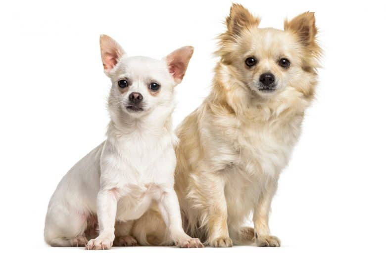 Portrait of two Chihuahua dogs