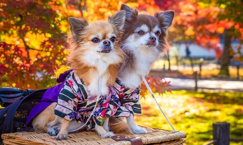 Two Chihuahua dogs in an autumn park