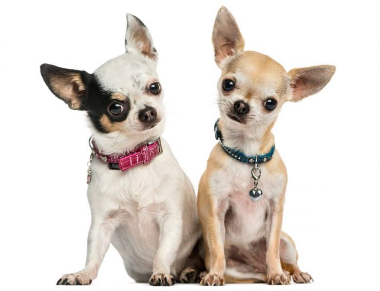 Two Chihuahuas wearing collars