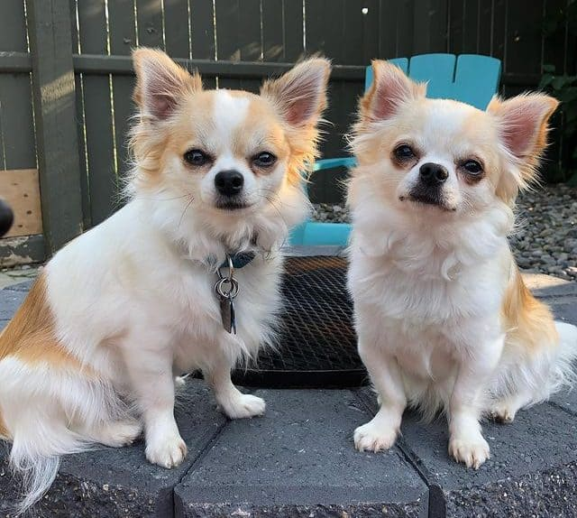 Two cute Chihuahua dogs posing outdoor