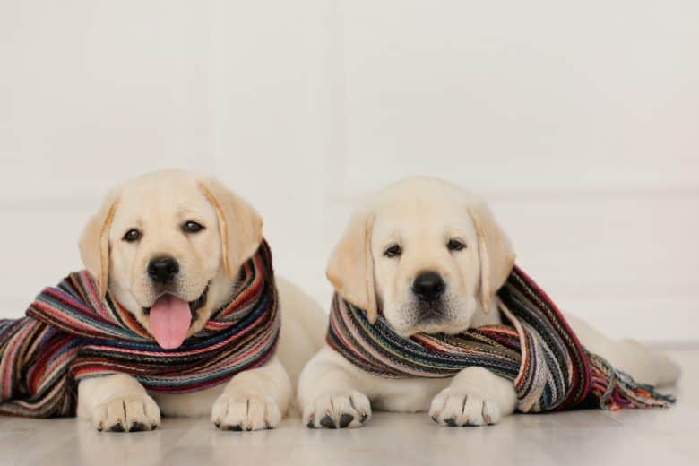 Two cute Labrador Retriever puppies wearing their scarves