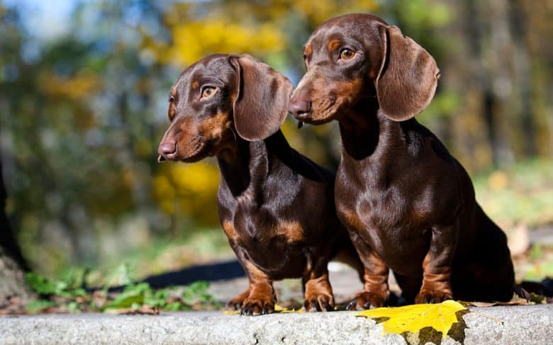 Two Dachshund puppies in an autumn forest