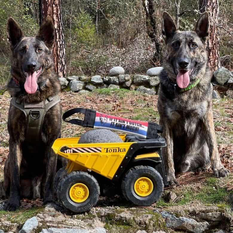 Two Dutch German Shepherd with toy truck