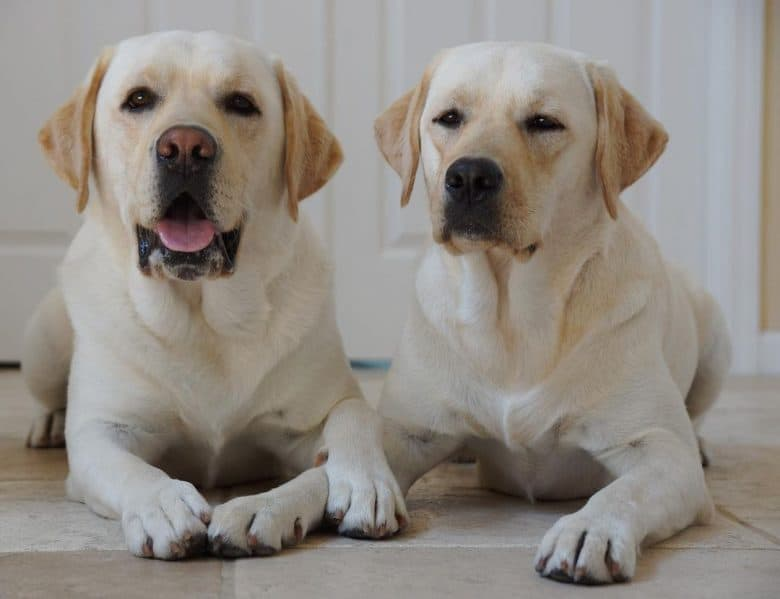 Two English Labrador retrievers lying on the floor