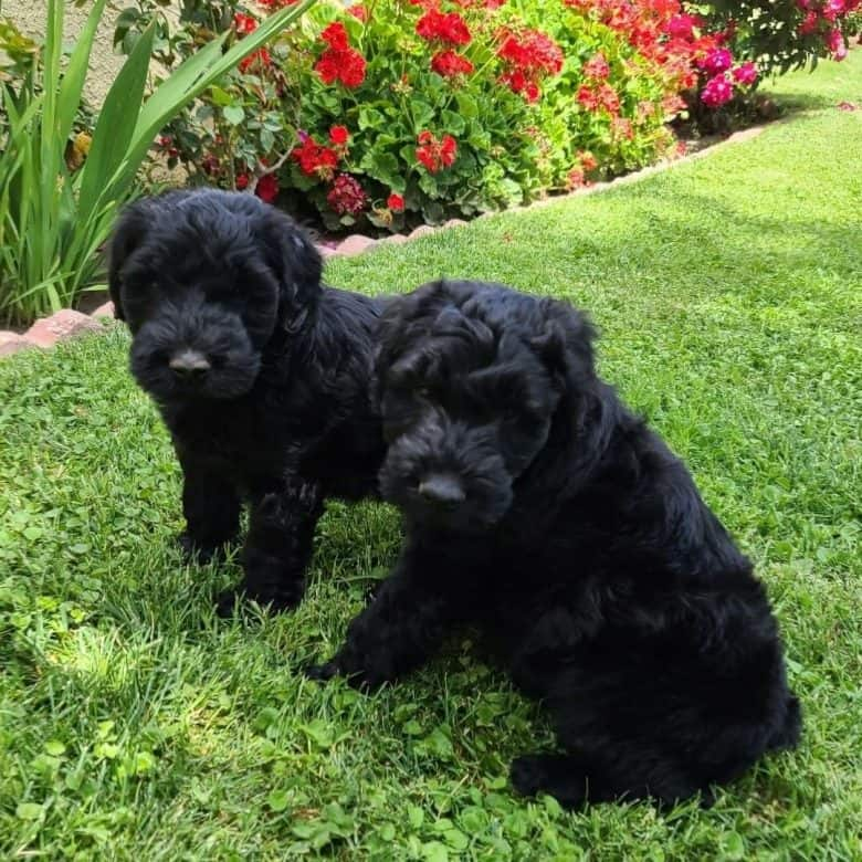 Two Giant Schnauzer puppies