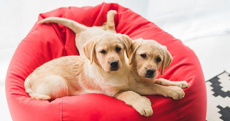 Two Labrador Retrievers lying on red bag chair