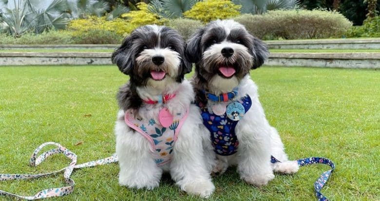 Two Maltese and Shih Tzu mix dog in a park