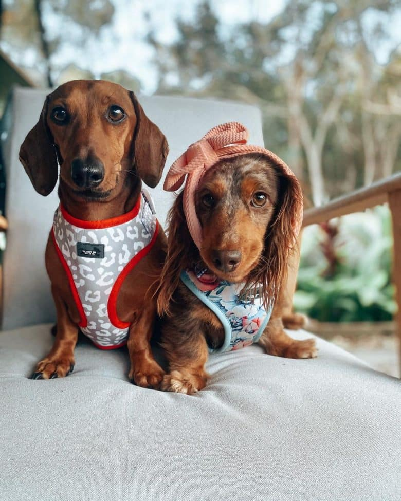 An image of Miniature Dachshund sibling lounging
