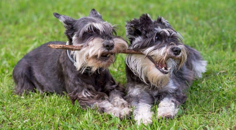 Two Miniature Schnauzer dogs playing one stick together
