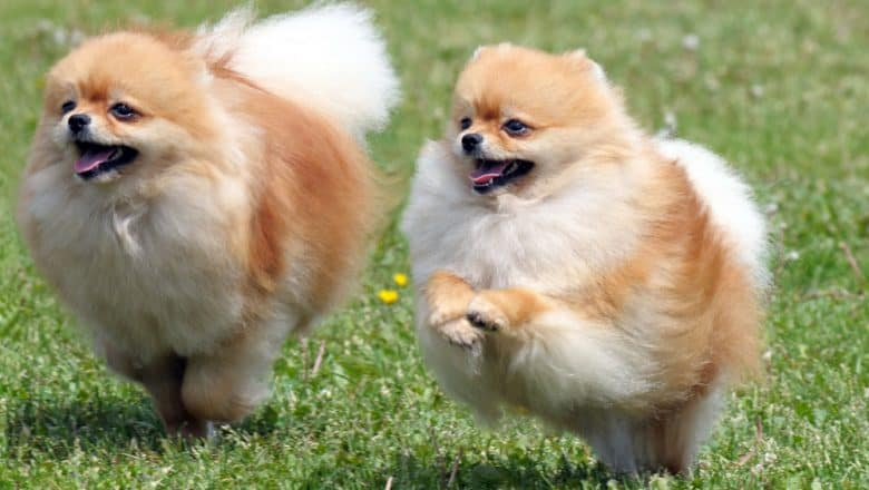 Two Pomeranian dogs playing on the field