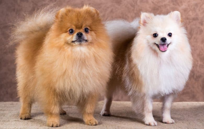 Two Pomeranian dogs with a paw cut hairstyle