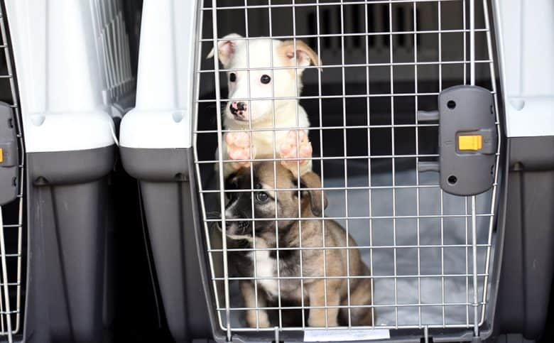 Two puppies inside a plastic transporting cage
