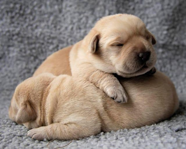 Two sleeping Labrador Retriever dog puppies