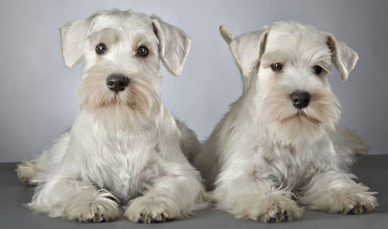 Two white Miniature Schnauzer dogs