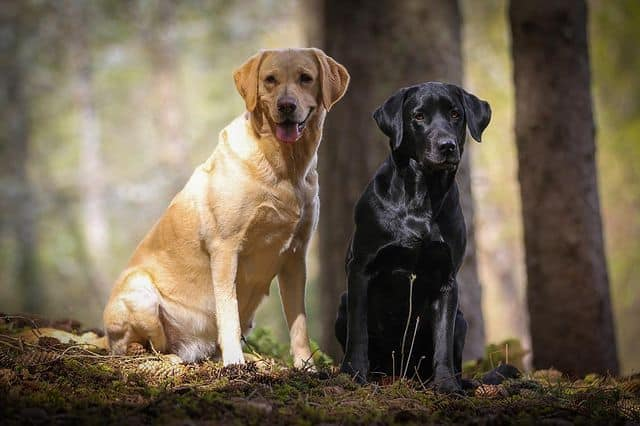 Yellow and Black Labrador Retriever dogs sitting beside each other