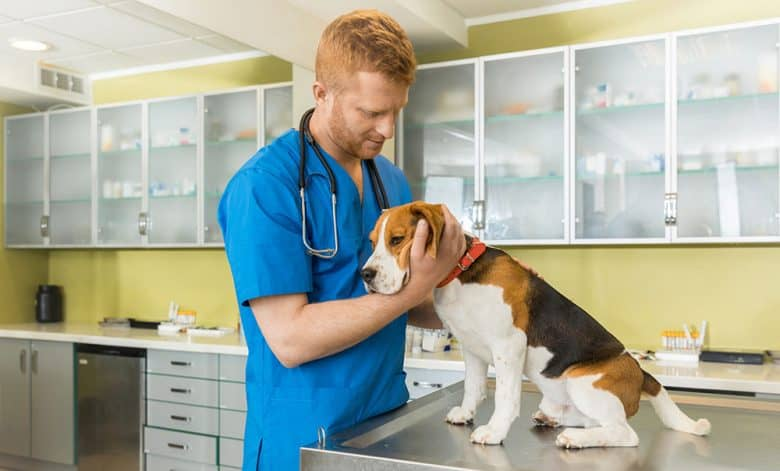 Veterinarian taking care of the Beagle dog at the clinic