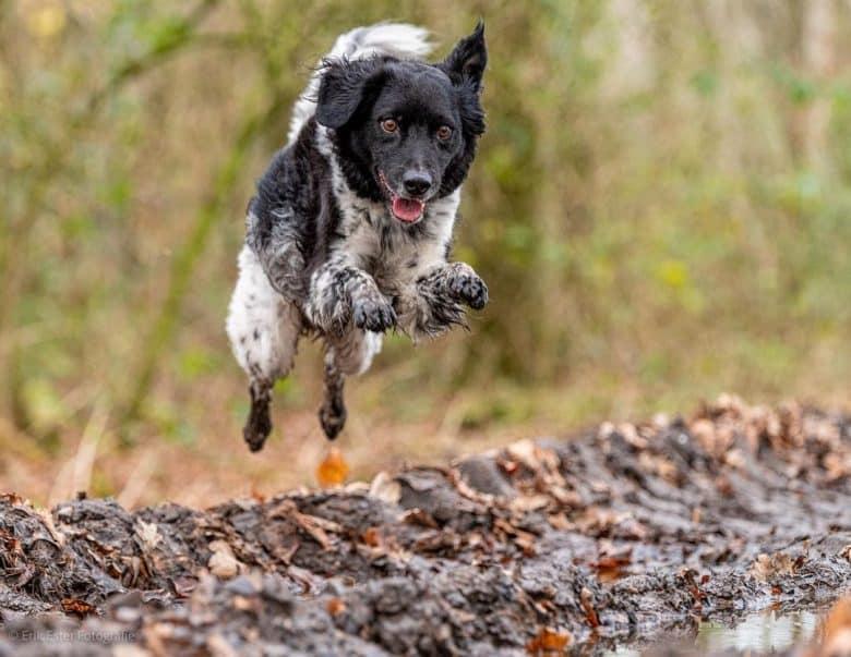 Wetterhoun leaping and jumping high