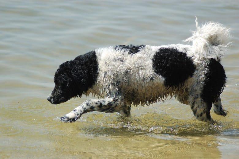 Wetterhoun playing on the water