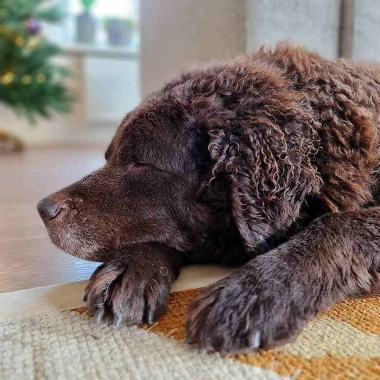 A Wetterhoun dog sleeping