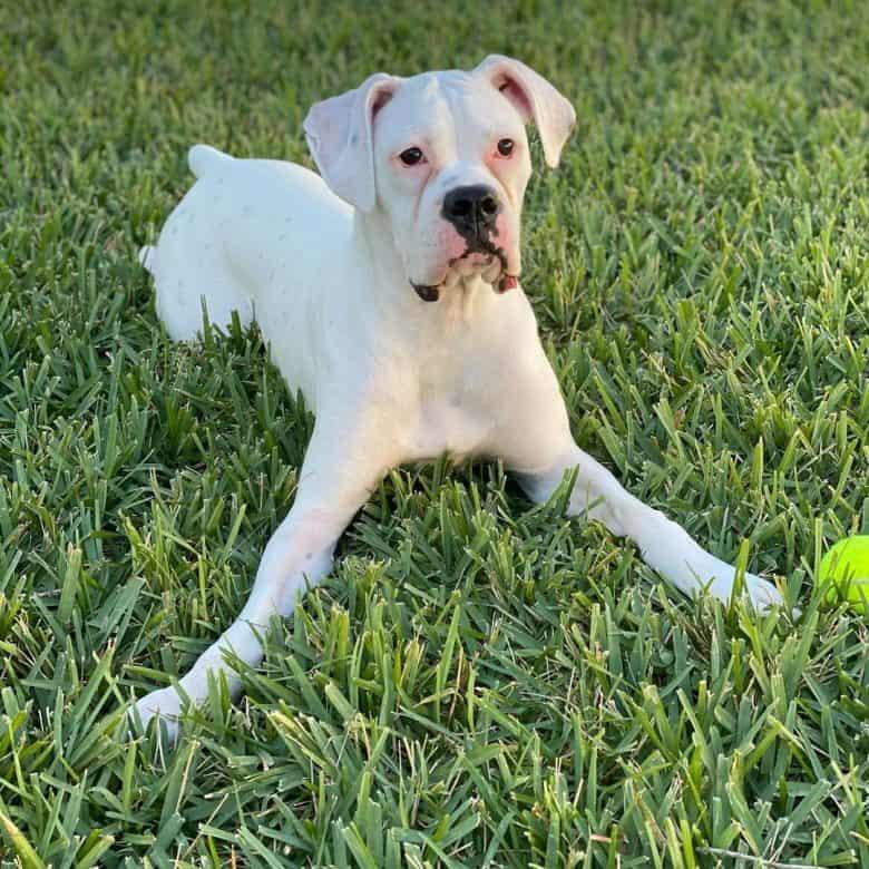 White Boxer dog ready to play