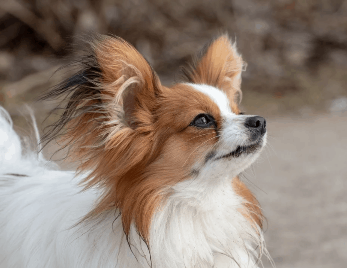 a white and brown Papillon dog looking up