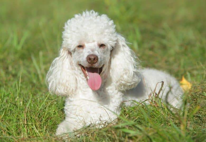 A white Miniature Poodle laying on grass