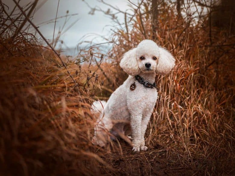 A white Miniature Poodle posing for a picture in a dry grassland